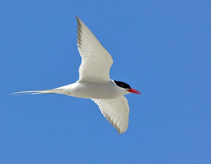 Arctic Tern (Sterna paradisaea) by J Fenton