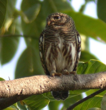 Asian Barred Owlet (Glaucidium cuculoides) by Peter Ericsson