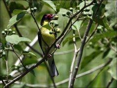 Australasian Figbird (Sphecotheres vieilloti) by Ian