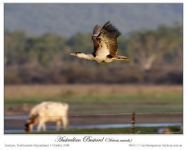 Australian Bustard (Ardeotis australis) by Ian