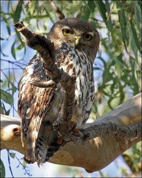 Barking Boobook (Ninox connivens) by Ian