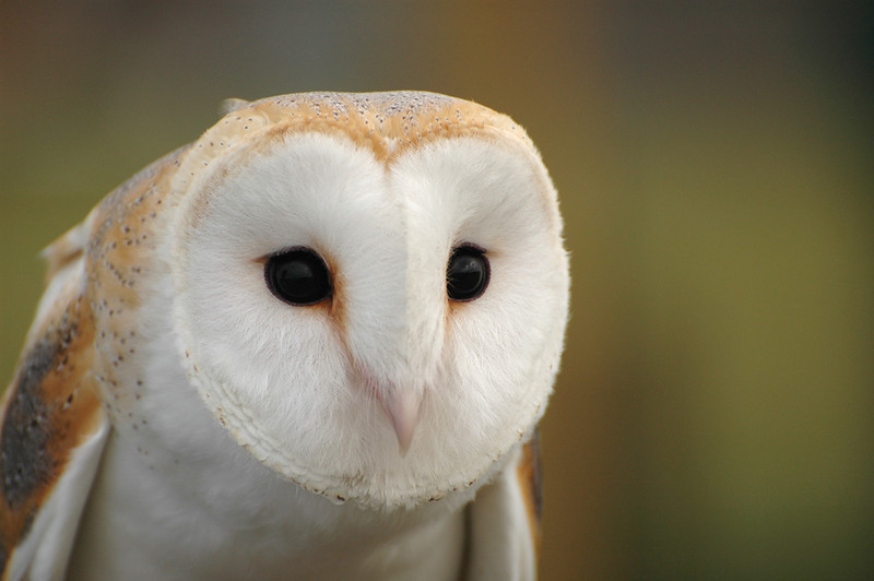 barn owls - photo #11
