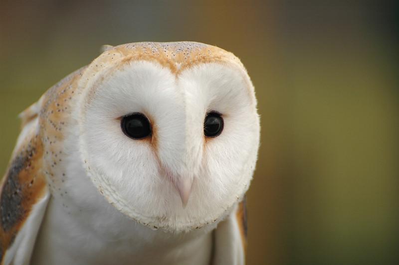 Bird of the Bible - Barn Owls (1/5)