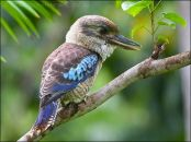 Blue-winged Kookaburra (Dacelo leachii) by Ian