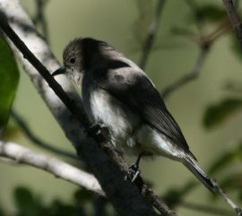 Brown-backed (Wahlberg's) Honeybird (Prodotiscus regulus) byWiki