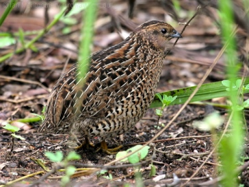 Brown Quail (Coturnix ypsilophora) by Ian