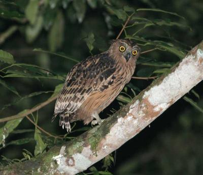 Buffy Fish Owl (Ketupa ketupu) by Peter Ericsson