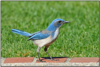 California (Western) Scrub Jay (Aphelocoma californica) by Daves BirdingPix