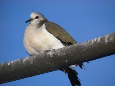 Caribbean Dove (Leptotila jamaicensis) ©WikiC