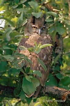Dusky Eagle-Owl (Bubo coromandus) by Nikhil Devasar