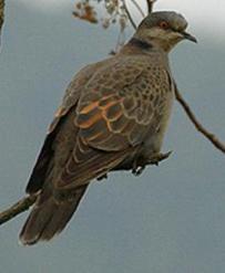 Dusky Turtle Dove (Streptopelia lugens) ©WikiC