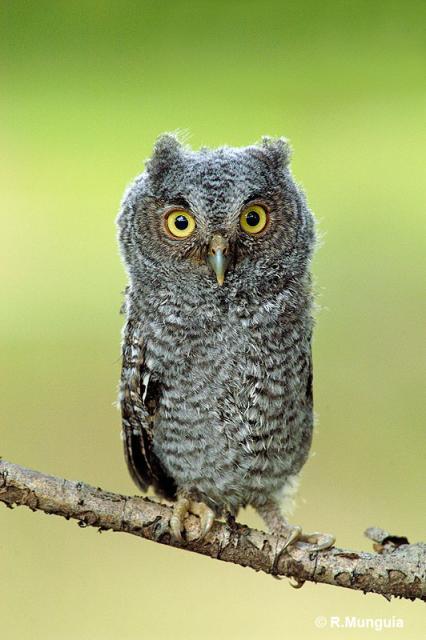Strigidae owls lee s birdwatching adventures plus
