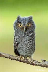 Eastern Screech Owl (Megascops asio) baby Reinier Munguia