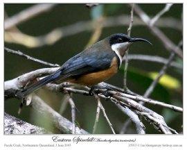 Eastern Spinebill (Acanthorhynchus tenuirostris) female by Ian