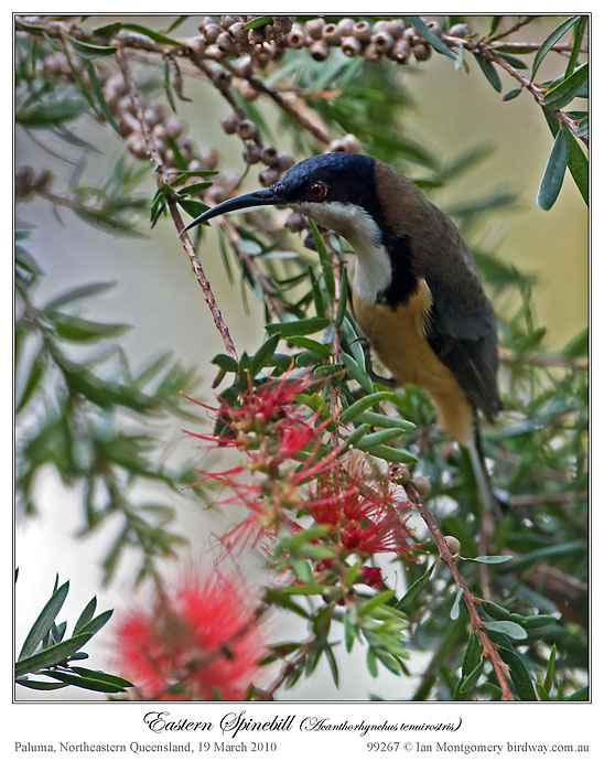Eastern Spinebill (Acanthorhynchus tenuirostris) male by Ian