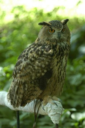 Eurasian Eagle-Owl (Bubo bubo) by Bob-Nan