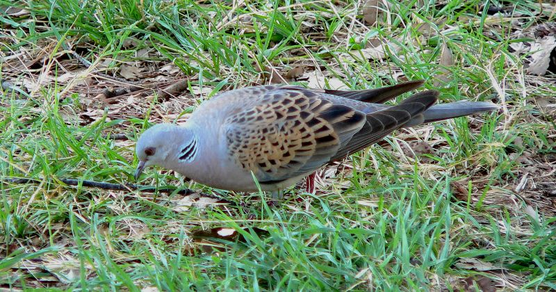 Bird Of The Bible Turtle Doves Birds Of The Bible