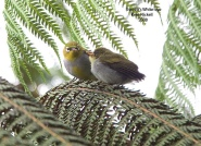 Everett's White-eye (Zosterops everetti) by Kent Nickell