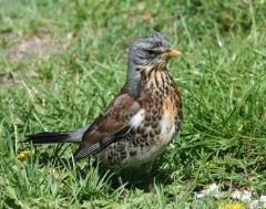 Fieldfare (Turdus pilaris) by Peter Ericsson