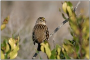 Golden-crowned Sparrow (Zonotrichia atricapilla) by Daves BirdingPix