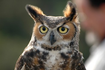 Great Horned Owl (Bubo virginianus) by Bob-Nan