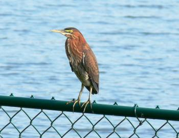 Green Heron (Butorides virescens) by Lee