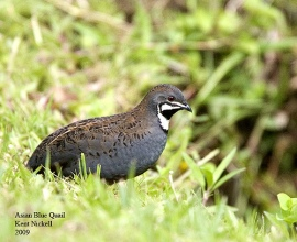 King Quail (Excalfactoria chinensis) Asian Blue by Kent Nickell