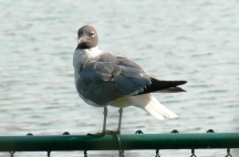 Laughing Gull (Leucophaeus atricilla) by Lee