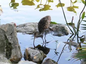 Limpkin at Lake Morton