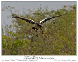 Magpie Goose (Anseranas semipalmata) by Ian