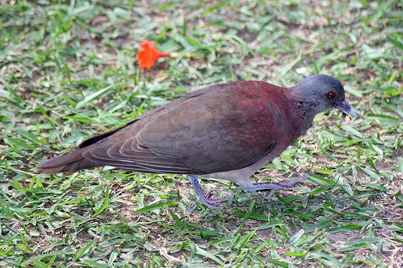 Malagasy Turtle Dove (Nesoenas picturata) ©WikiC