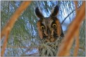 Long-eared Owl (Asio otus) by Daves BirdingPix
