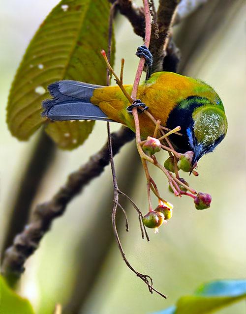 Orange-bellied Leafbird (Chloropsis hardwickii) by W Kwong
