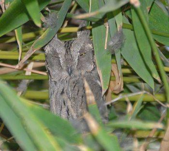 Pallid Scops Owl (Otus brucei) by Nikhil Devasar