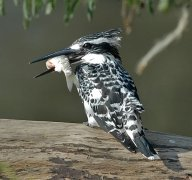 Pied Kingfisher (Ceryle rudis) by Nikhil Devasar