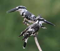 Pied Kingfisher (Ceryle rudis) by Peter Ericsson