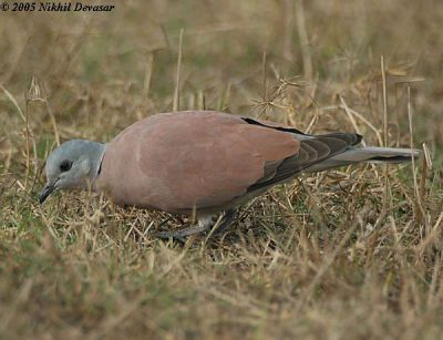 Red Turtle Dove (Streptopelia tranquebarica) by Nikhil Devasar