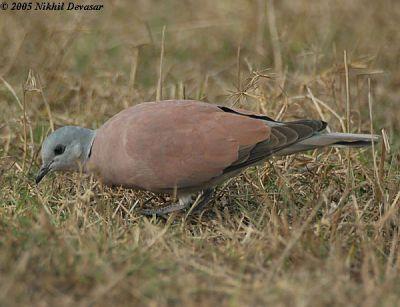 Red Turtle Dove (Streptopelia tranquebarica) by Nikhil Devasar