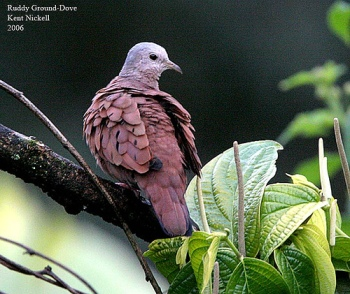 Ruddy Pigeon (Patagionenas subvinacea) by Kent Nickell