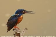 Shining-blue Kingfisher (Alcedo quadribrachys) by Tom Tarrant
