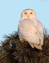Snowy Owl (Bubo scandiacus) by J Fenton
