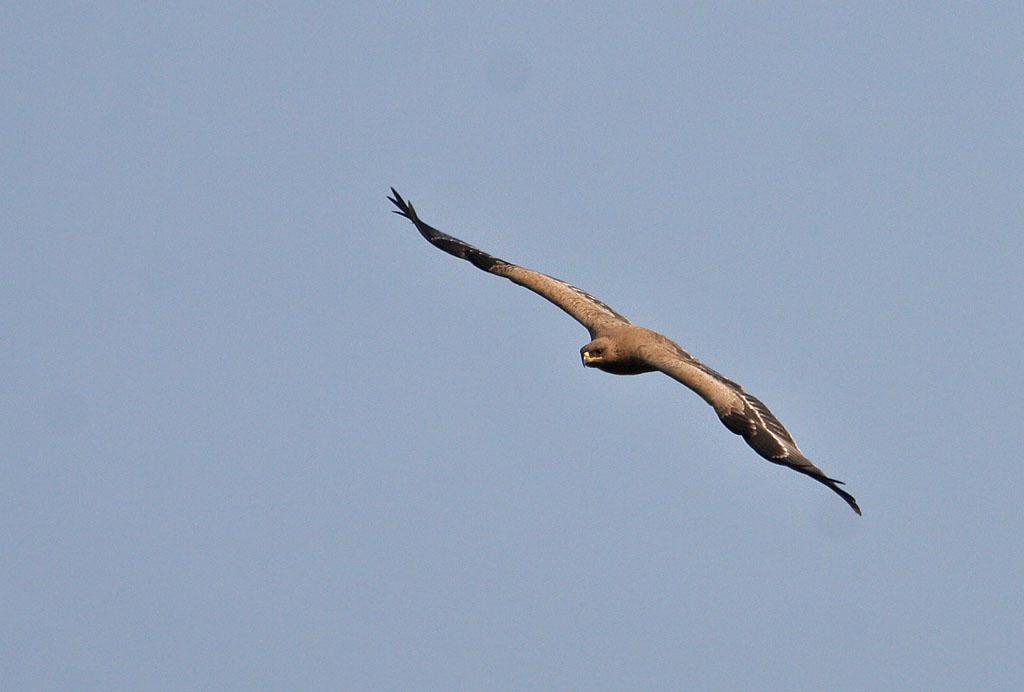 Wikipedia Steppe Eagle Steppe Eagle Aquila