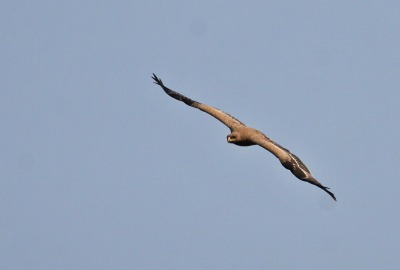 Steppe Eagle (Aquila nipalensis) by Peter Ericsson