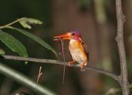 Sulawesi Dwarf Kingfisher (Ceyx fallax) by Peter Ericsson