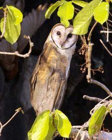 Sulawesi Masked Owl (Tyto rosenbergii) by Wiki