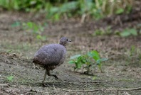Undulated Tinamou (Crypturellus undulatus) by Kapitan Hojo-©©
