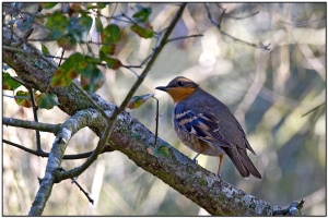 Varied Thrush (Ixoreus naevius) by Daves BirdingPix