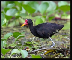 Wattled Jacana (Jacana jacana) by Robert Scanlon