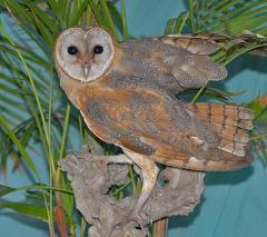 Western Barn Owl (Tyto alba) by Nikhil Devassar