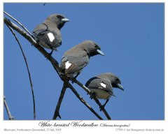 White-breasted Woodswallow (Artamus leucorynchus) by Ian